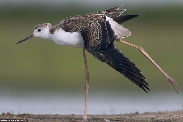 A Black-winged stilt captured in mid-stride, in the Hungarian countryside