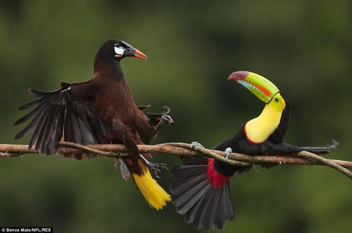 A Keel-billed toucan (right) and a Montezuma oropendola in the middle of an aggressive encounter, in Costa Rica