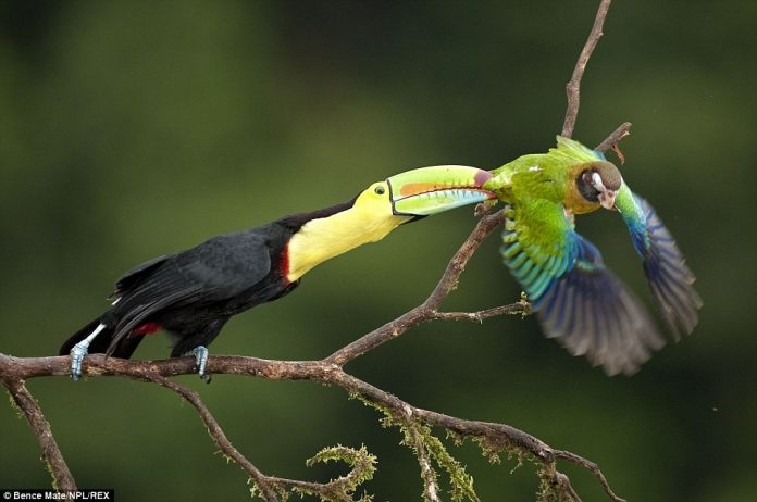 A Keel-billed toucan takes a bite out of a Brown-hooded parrot at Laguna del Lagarto in Costa Rica
