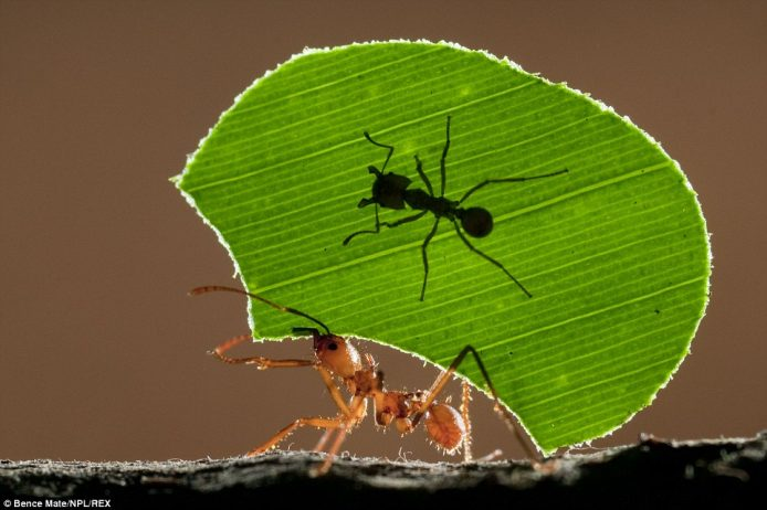 A female leaf cutter ant carries a fragment of foliage - and an infant ant - in Costa Rica