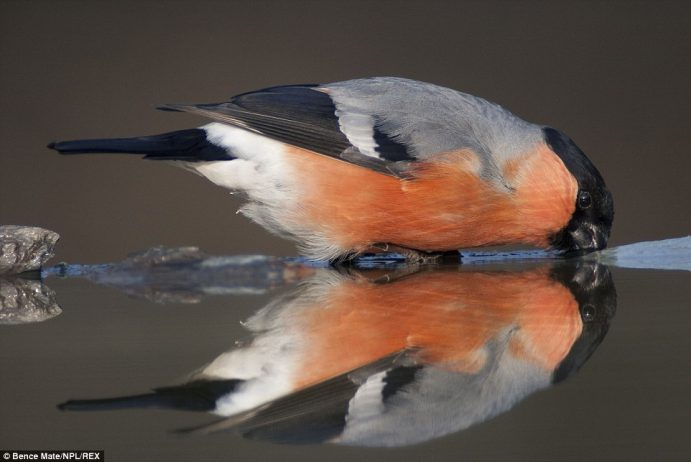 In this image, Mate's camera picks out a Eurasian bullfinch, pausing for a drink in Pusztaszer, Hungary