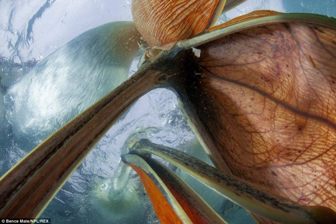 Such is Mate's skill that he is able to capture underwater images of pelicans searching for fish - at Lake Kirkini, in Greece