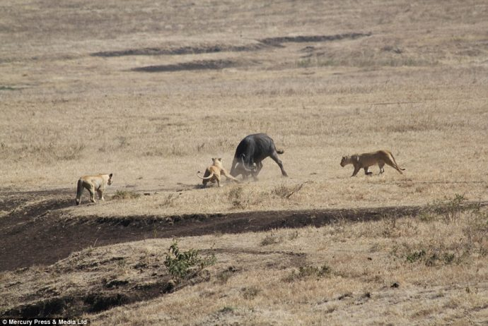 The buffalo become separated from the herd when it turns back to face the lions and protect its young calf