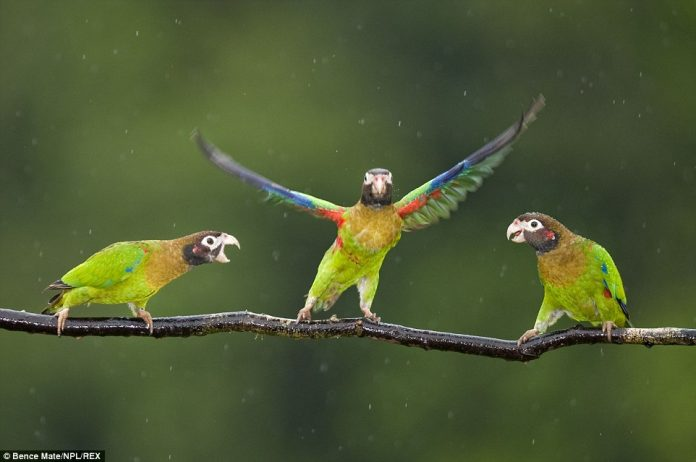 Three Brown-hooded parrots shake off the rain at Laguna del Lagarto, in the Santa Rita area of Costa Rica