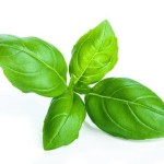 Basil (Ocimum Basilicum) Herbs