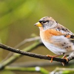 "Brambling ""Fringilla Montifringilla"" is a Widespread Bird of Europe"