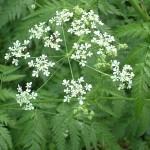 Chervil Herbs or Anthriscus Cerefolium