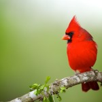 The Northern Cardinal Bird, is a Songbird, Sing Variety of Different Melodies