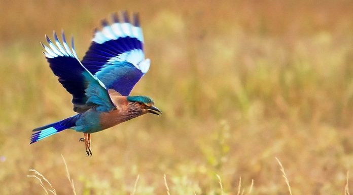 "The Indian Roller (Coracias benghalensis), is acrobatic bird, in Telugu it is called ""paala pitta"" is a member of the roller family of birds."