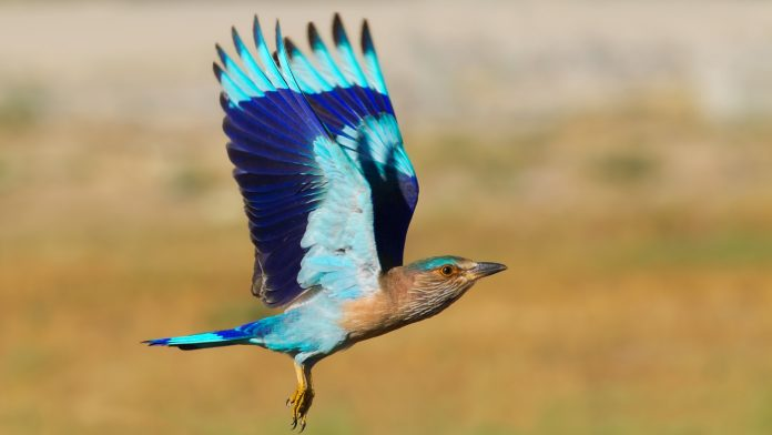 Indian Roller ! An Aerobatic Display Bird
