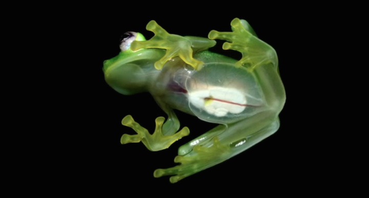 Down in Costa Rica, researchers have discovered an attractive, acquainted looking new species  Kermit the Frog.