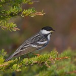 Small Black Warblers Fly without Landing for Three Days