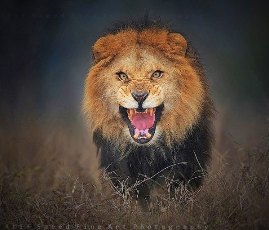 Incredible Photo Of Angry Lion About To Attack On Brave - Photographer captures angry lion before attack