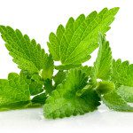 Mint or Mentha is Strong Flavoring Herb