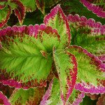 Coleus is loved for its dramatically variegated Leaves