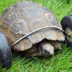 90-Year-Old Tortoise Legs Were Eaten By Rats Gets Prosthetic Wheels