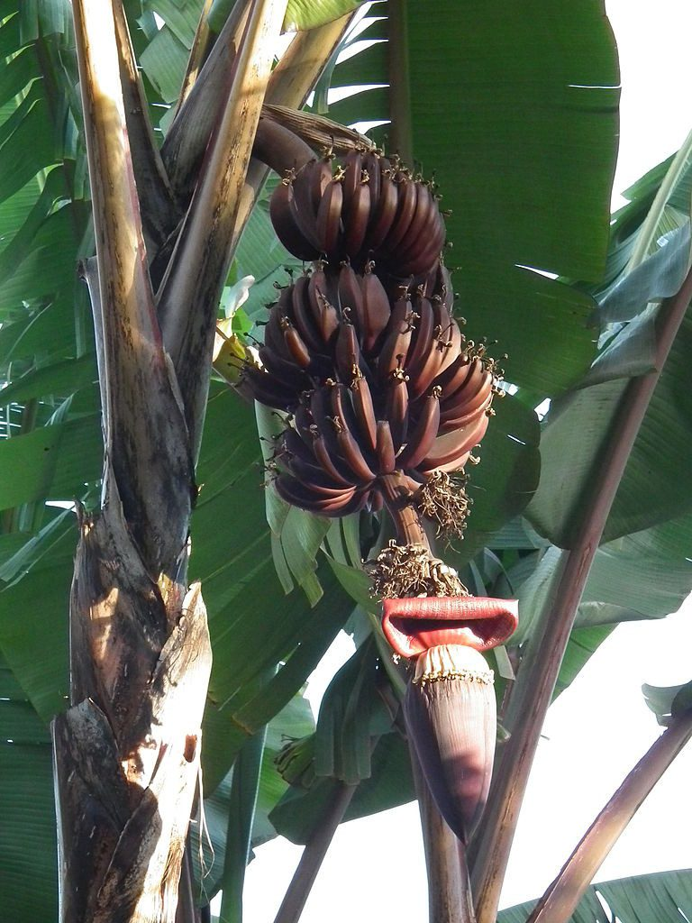 Red banana plant from Tanzania showing fruits and inflorescence.