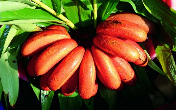 Exotic Red Bananas