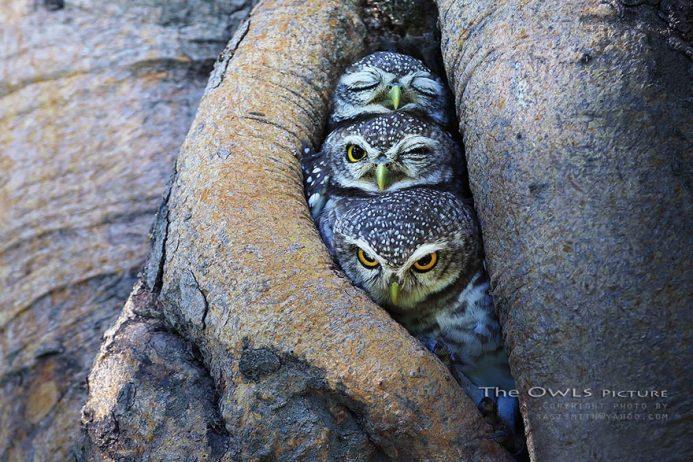 owl-photography-sasi-smit-1