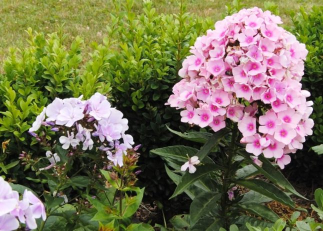 phlox that is the glory of the summer garden, with its big clusters of red, pink, salmon, lavender, purple or white blossoms.
