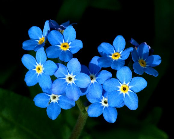 Forget me not or myosotis sylvatica flower charismatic planet ccuart Image collections