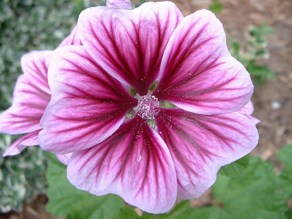 Perennial_Geranium_Flower_-_Relic38