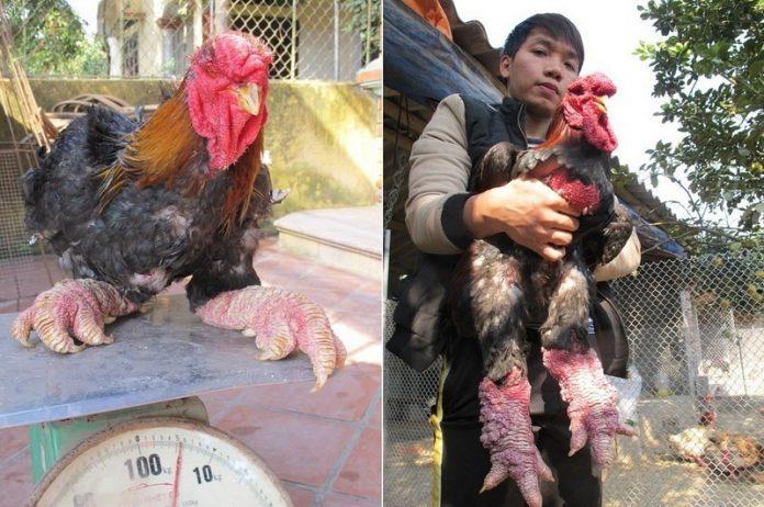 dong-tao-chicken-3[2]