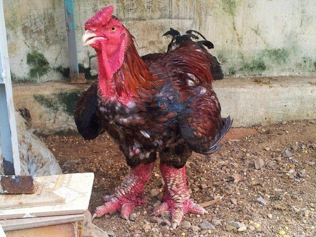 dong-tao-chicken-5[6]