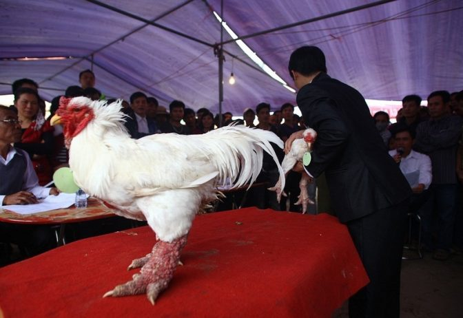 Vietnamese chicken Legs Just Like Dragon high prized for its delicious meat, has one of the thickest legs, not seen among birds of that size.