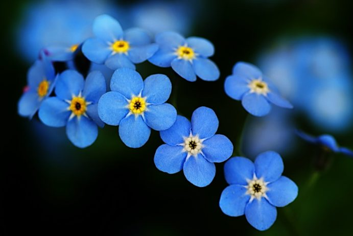 forget-me-not-close