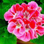 Geranium or Pelargonium Flower