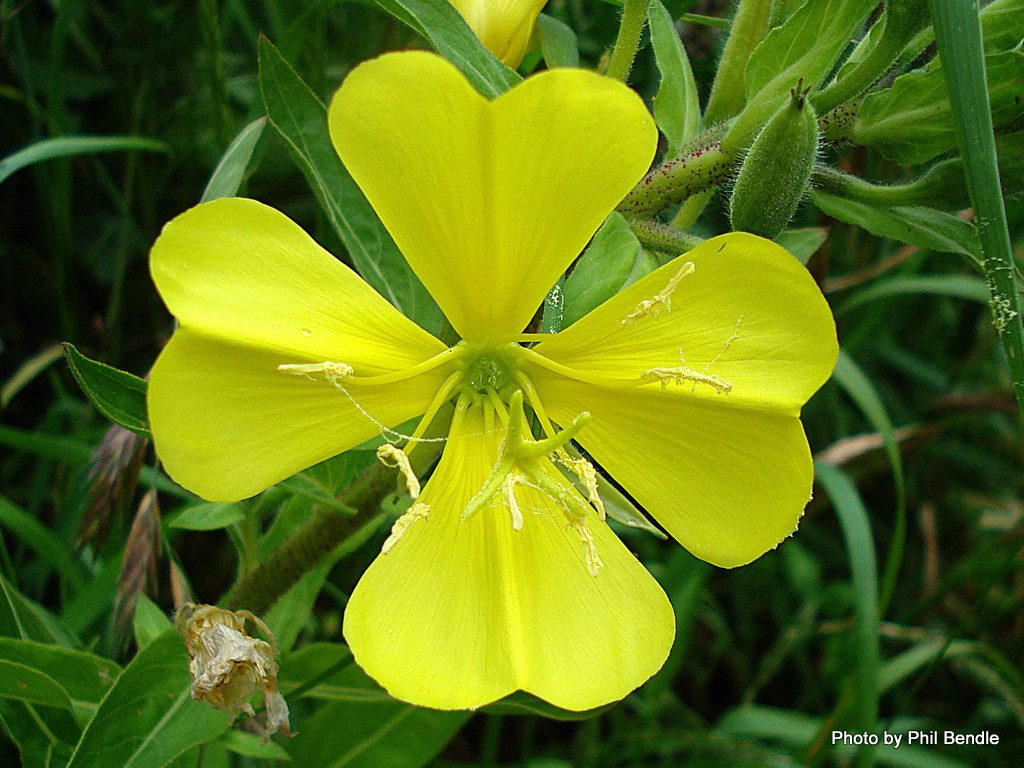 Oenothera is a genus of about 145 species of herbaceous flowering plants native to the Americas.