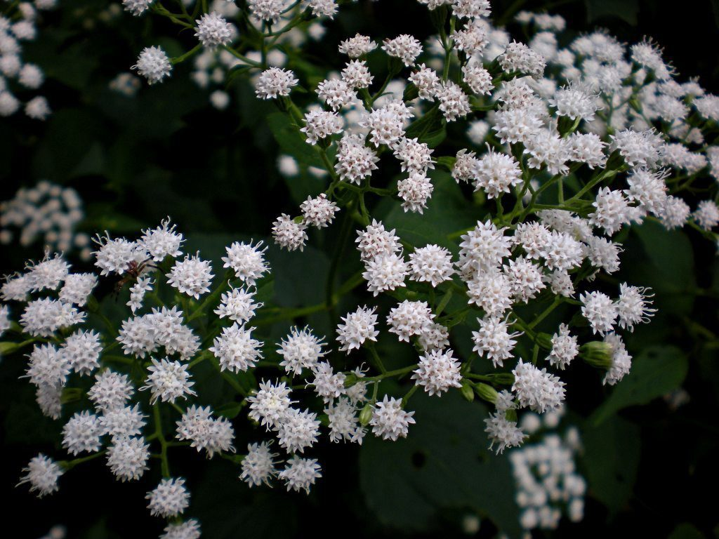 This woodland plant, native to the eastern United States, is not well known but really a delight to grow. Its flowers tall fuzzy white spikes.