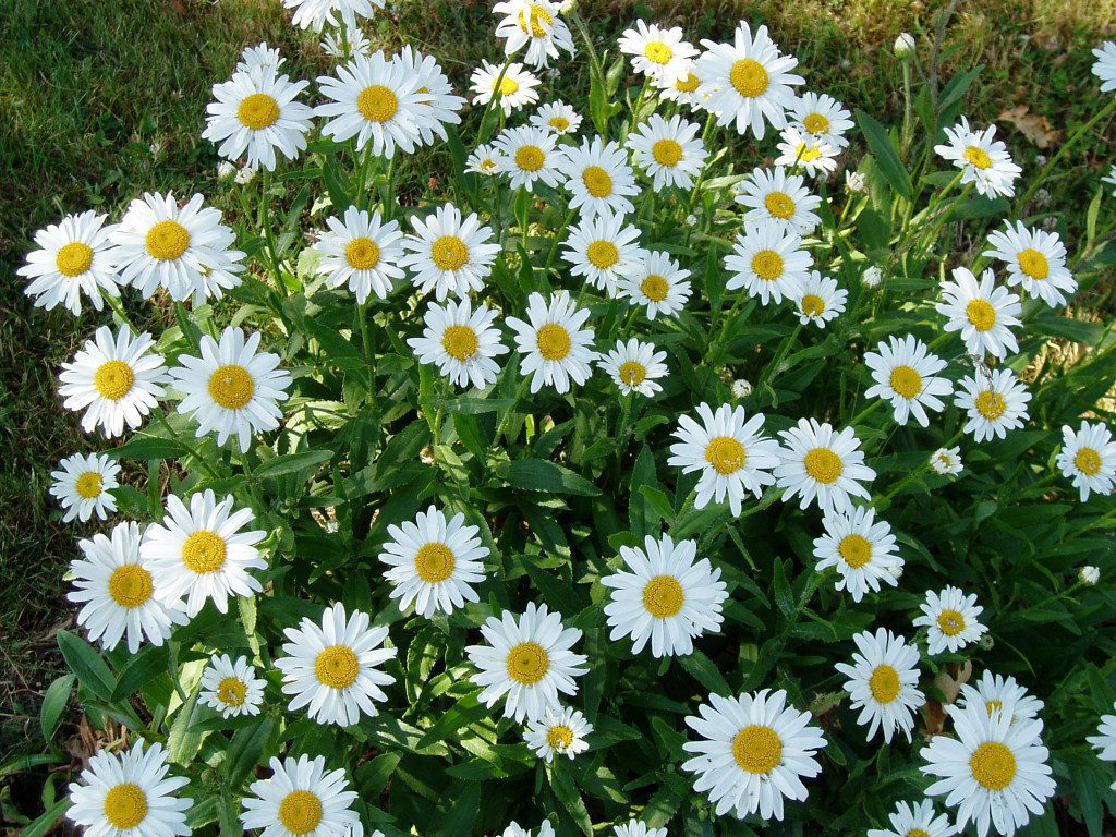 Shasta daisy or Chrysanthemum x superbum (C. Maximum) are always white, but can be tier single or double, tall short.