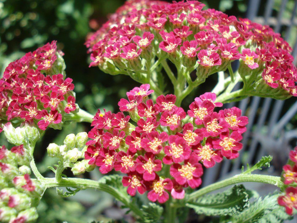 Several people are familiar with the wild white yarrow with its flat clusters of flowers, but most garden specimens are yellow, and some are pink or red.