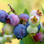 Blueberries A Super Fruit, Everyone Like to Grow