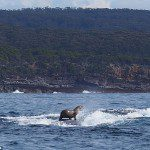 Photographer catches the amazing moment seal went surfing on a WHALE