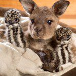 Cute Baby Kangaroo Welcomes Rescued Emu Chicks with Lovable Snuggling