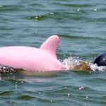 Mythical Looking Pink Dolphin is Spotted near Louisiana's Coast