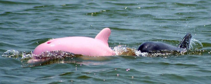 you can see Pink Dolphin is a mythical-looking creature that is nippily capturing the hearts of millions of people around the world.