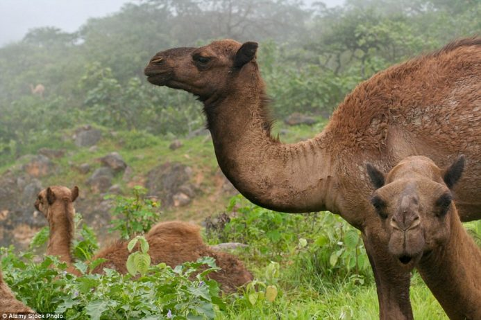 Camels rest upon the grass - a rare site which people can see when the monsoon arrives for three months a year in Oman