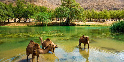 Camels wander in the water following the monsoon - which sees temperatures drop from a high 50 degrees to a cool 20 overnight