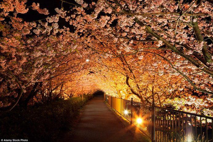Kawazu Cherry Tree in Shizuoka, Japan