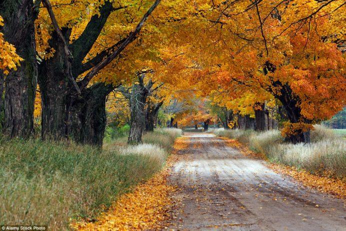 Maple Trees in Ludington, Michigan