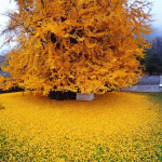 1,400-year-old Tree Still Sheds Golden Leaves