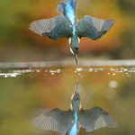 Photographer Takes Perfect Picture of Diving Kingfisher in Honour of his Grandfather