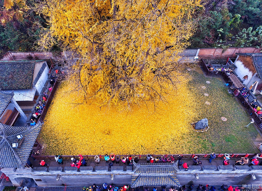 """The Ginkgo Tree referred """"living fossil"""" despite all the drastic climate changes, it has remained unchanged for more then 200 million years."""