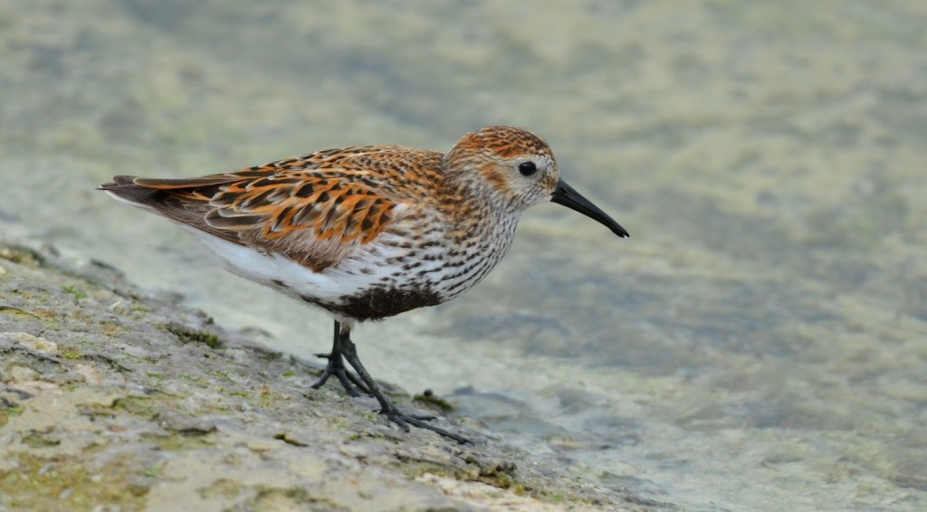 The dunlin and Sanderling are small, gregarious waders often seen on our mudflats and long sandy beaches in winter at a length of about 18cm.