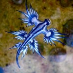 "Rare ""Blue Dragon"" Spotted on the Shores of Australia"