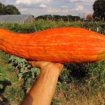 800-Years Old Extinct Squash Discovered in India
